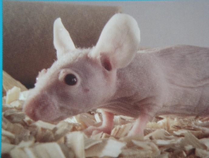 BKL:BALB/CA-NUDE小鼠