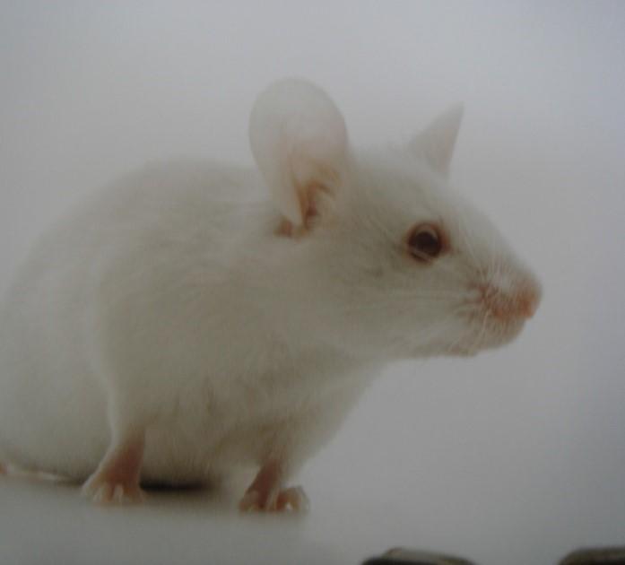 BKL:F344大鼠