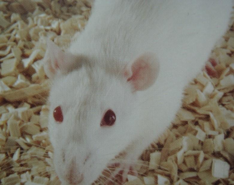 BKL:Lewis大鼠