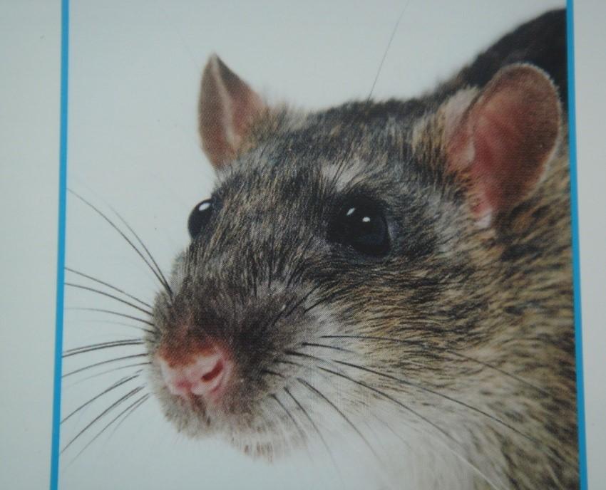 Dark Agouti(DA)大鼠