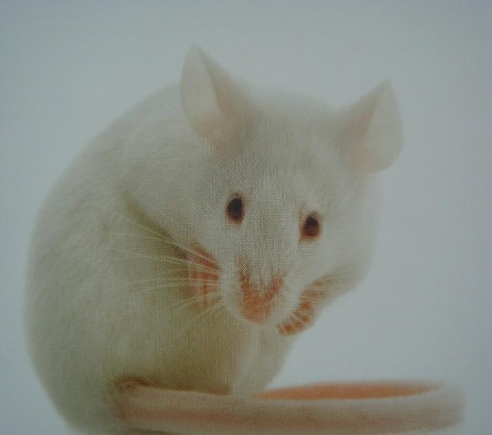 BKL:ICR小鼠