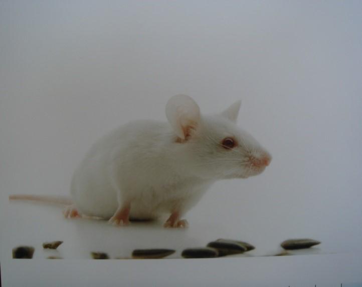 BKL:BALB/cA小鼠