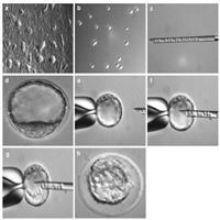 四倍体囊胚注射