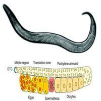 线虫基因修饰