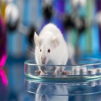 SD大鼠体内微核试验(流式细胞术)
