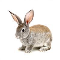SPF级兔胚胎-胎仔发育毒性试验(II段)