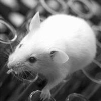 SD-EGFP 大鼠