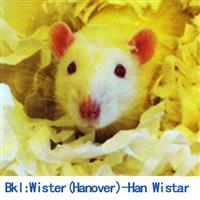 BKL:Wistar(Hanover)大鼠