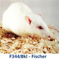 BKL:F344-Fischer 大鼠