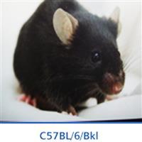 BKL:C57BL/6小鼠