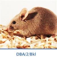 BKL:DBA/2小鼠