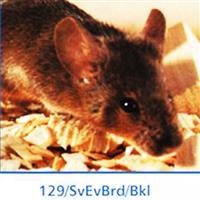 BKL:129/SvEvBrd小鼠