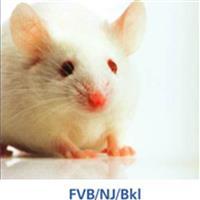 BKL:FVB/NJ小鼠